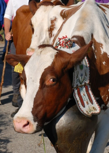 cheeky-cow