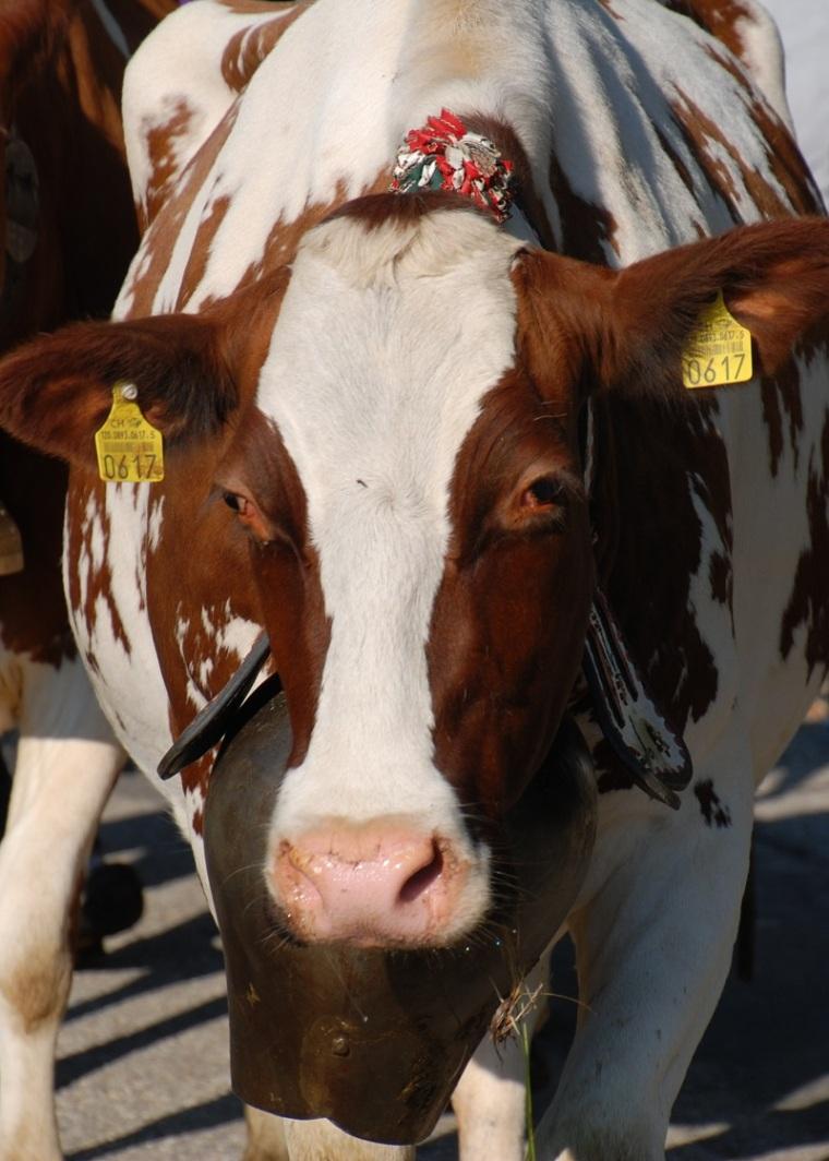 cow-ii