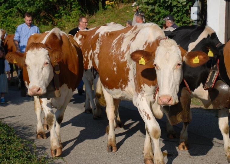 cows-cows