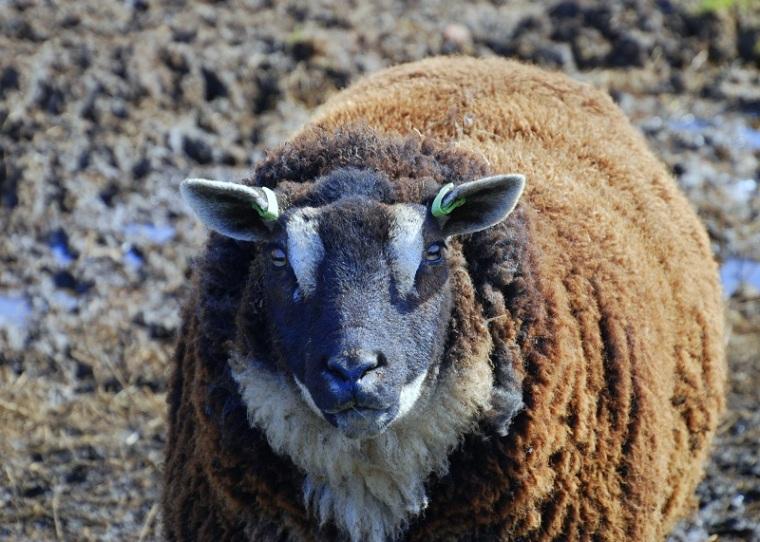 Dasgezicht Sheep II
