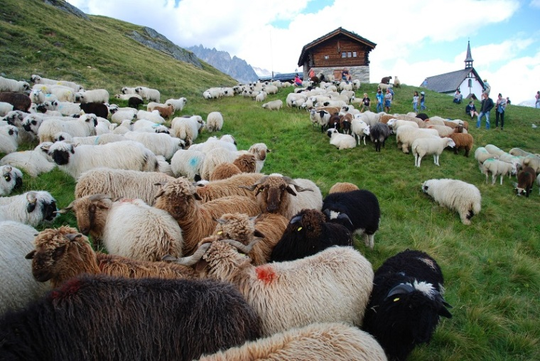 Sheep on the Belalp