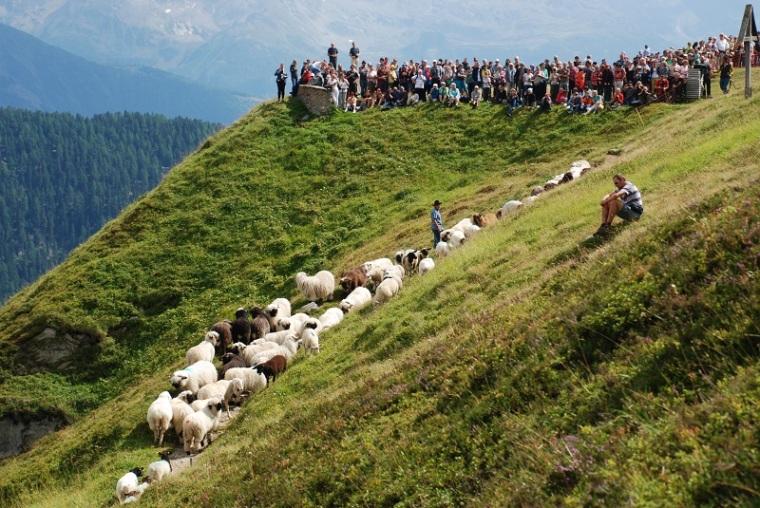 Sheep to the Belalp
