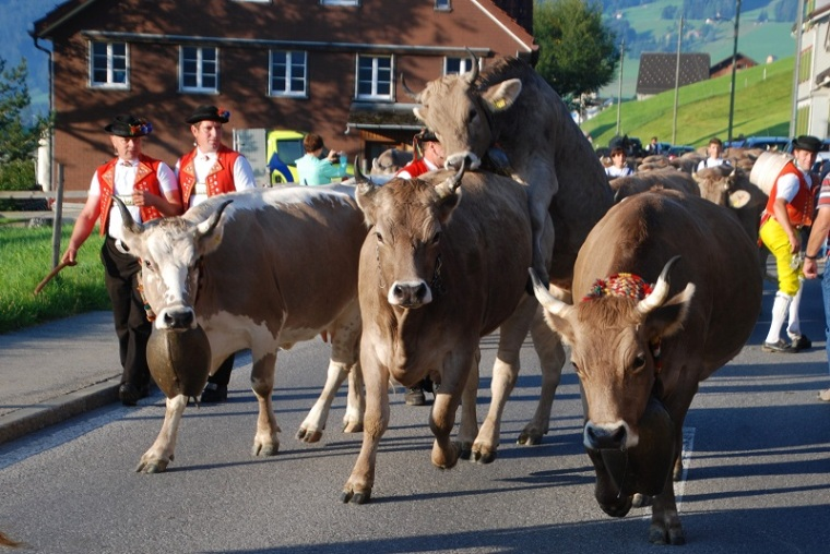Unruly Cows in Appenzell